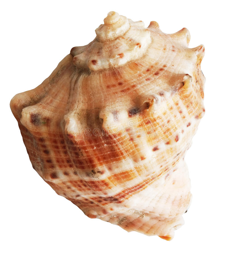 Shell mollusks. Isolated on white background with clipping path stock photo