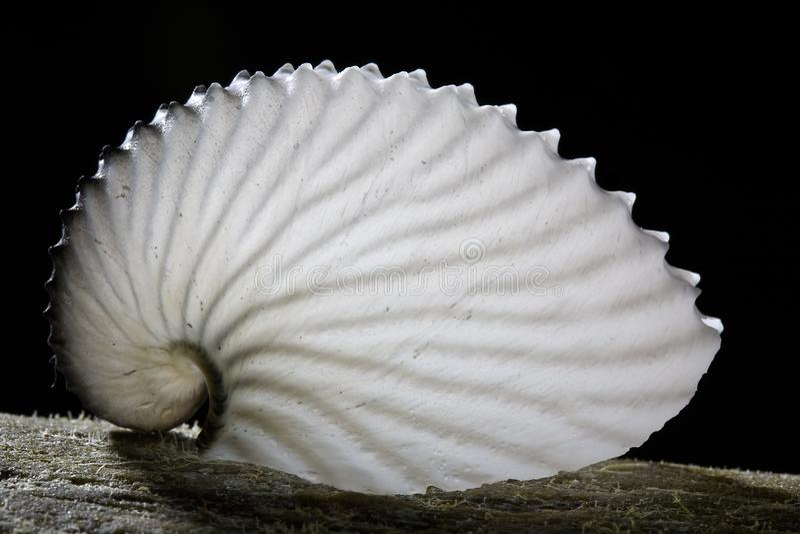Shell na árvore, provavelmente shell do caracol imagem de stock