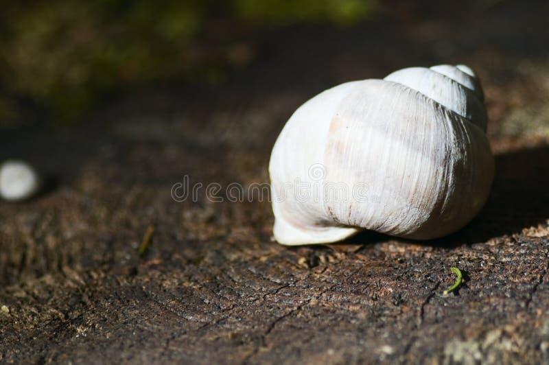 Shell na madeira fotografia de stock