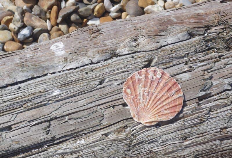 Shell na madeira lançada à costa imagens de stock royalty free
