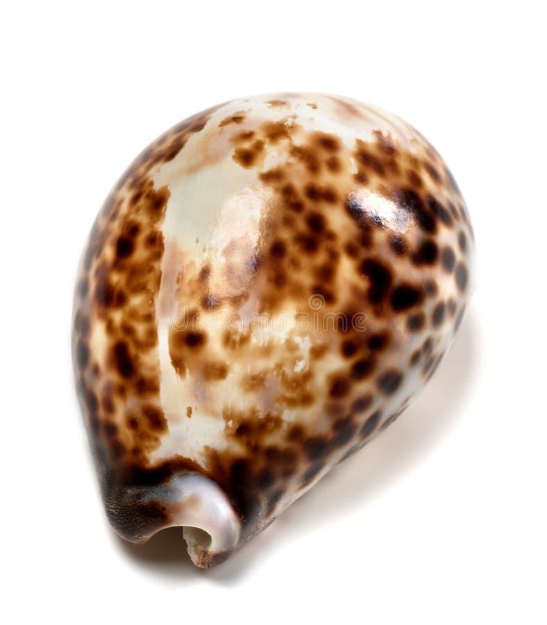 Free Shell Of Cypraea Tigris Royalty Free Stock Photo - 72565315