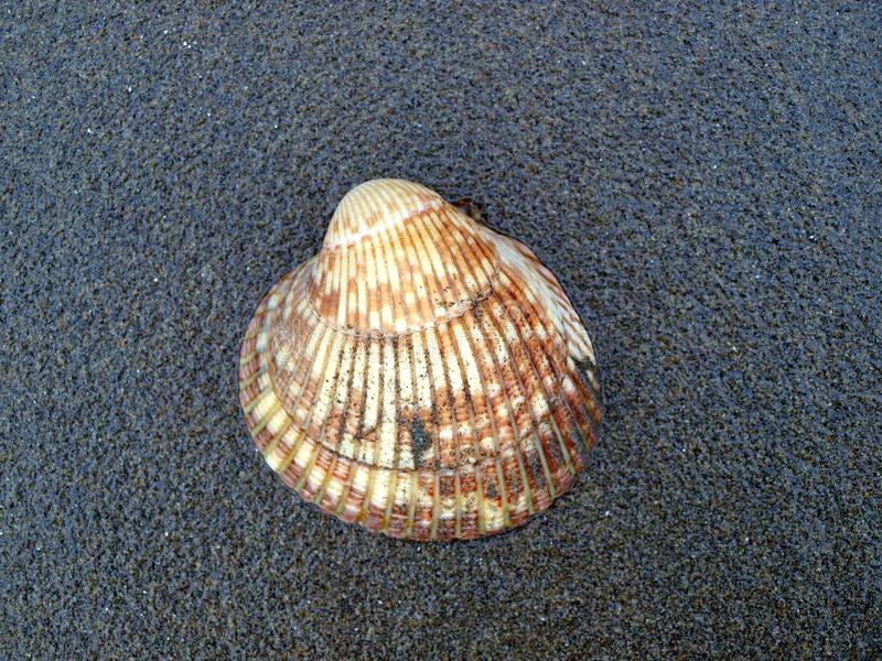 Shell på en strand av den Vancouver ön royaltyfri fotografi