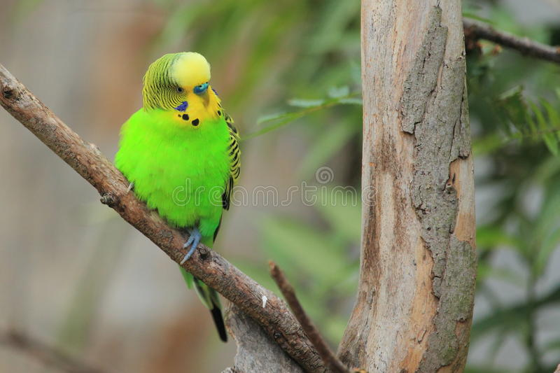 Shell parakeet. The shell parakeet sitting on the branch royalty free stock photos