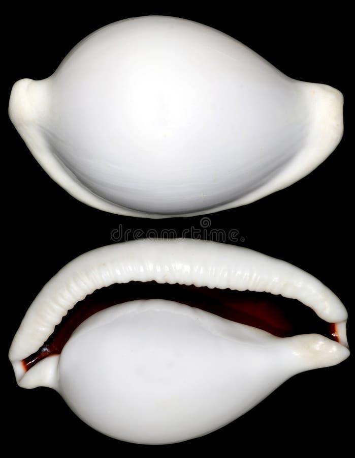 Shell redondo blanco del caracol en negro fotos de archivo libres de regalías