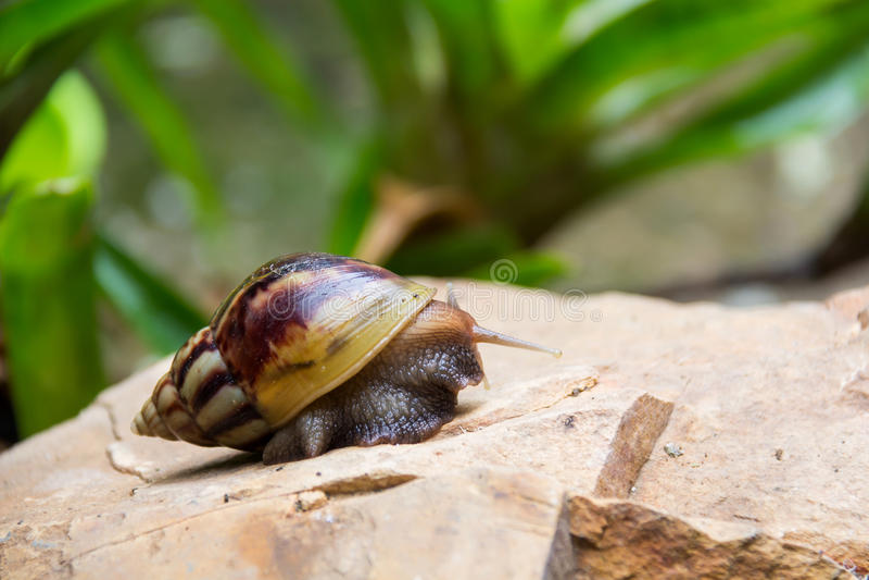 Shell redondo do caracol grande longo de Brown com listras fotos de stock royalty free