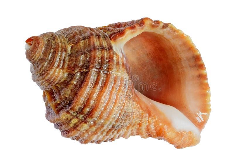 Shell. Sea mollusk close up stock photo
