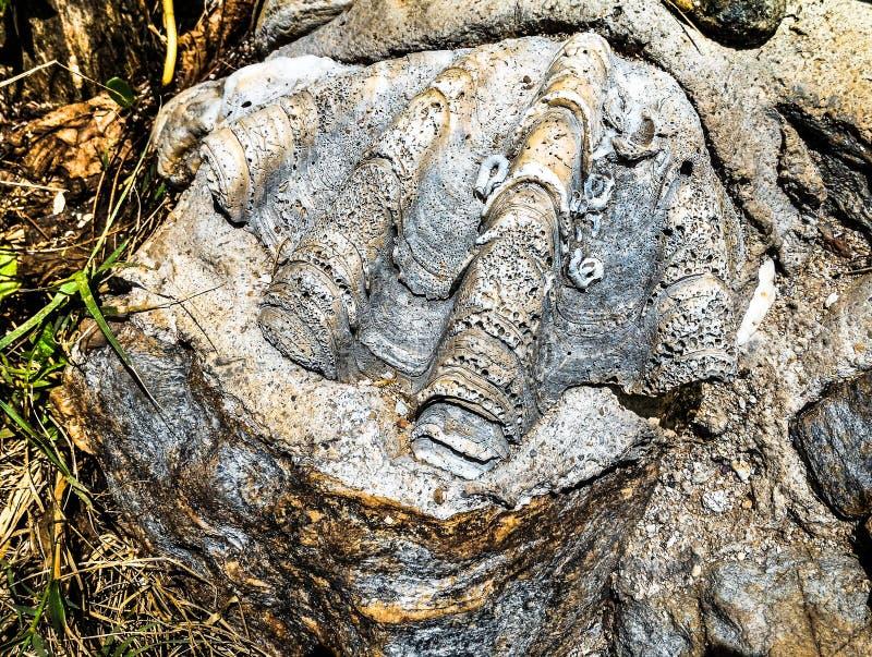 Shell skamieliny na skale fotografia royalty free