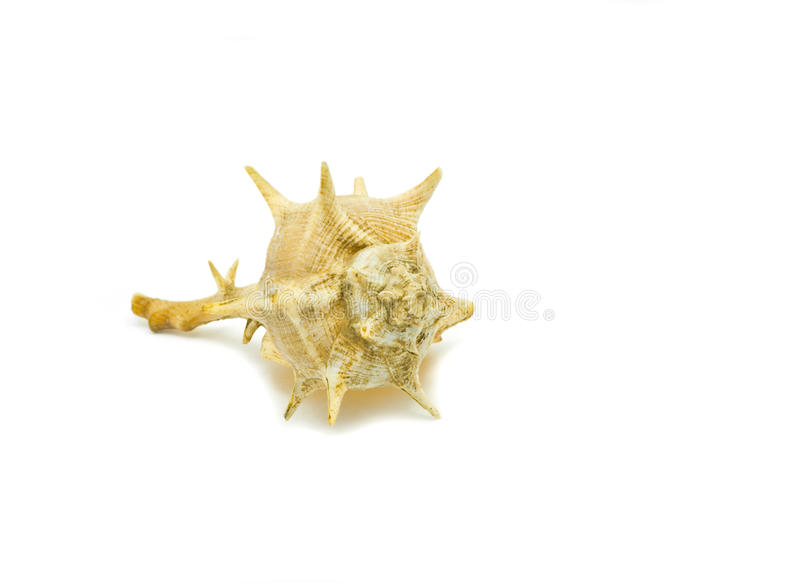 Shell with spikes royalty free stock photography