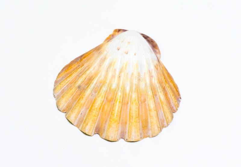 Shell sur le fond blanc photo libre de droits