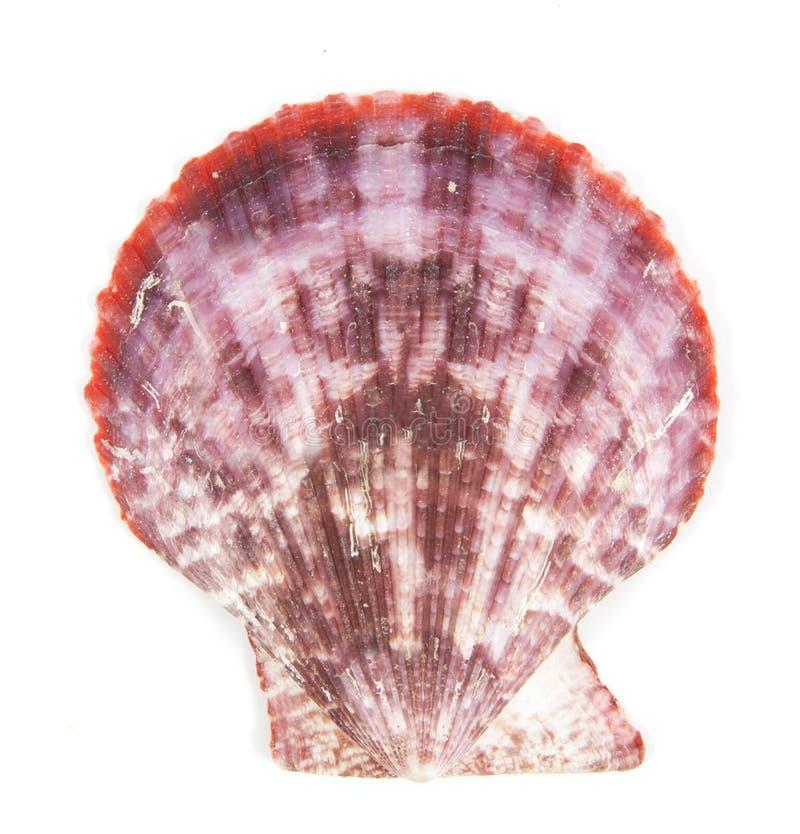 Shell vê o pectinidae no branco fotos de stock royalty free