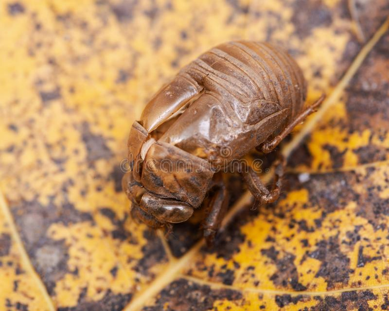 Shell van de cicadenimf exuvum Periodieke cicadetotstandkoming Exoskeleton van metamorfosenimfen Shell van het larvenbroedsel royalty-vrije stock fotografie