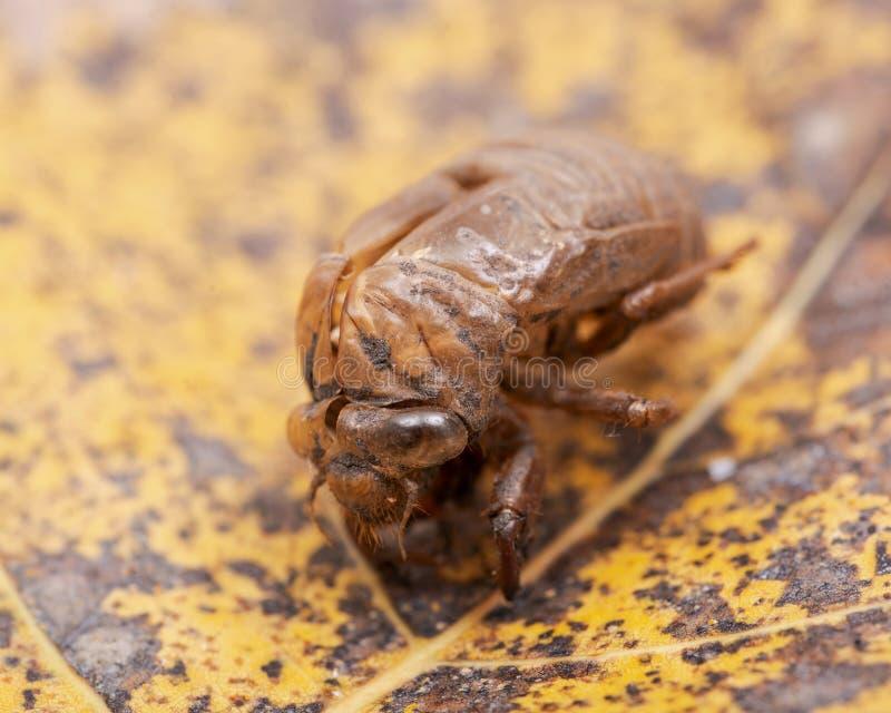 Shell van de cicadenimf exuvum Periodieke cicadetotstandkoming Exoskeleton van metamorfosenimfen Shell van het larvenbroedsel royalty-vrije stock foto