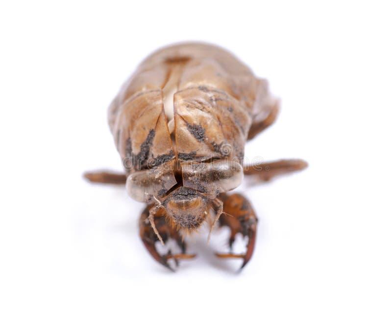Shell van de cicadenimf exuvum Periodieke cicadetotstandkoming Exoskeleton van metamorfosenimfen Larve Ha royalty-vrije stock foto's