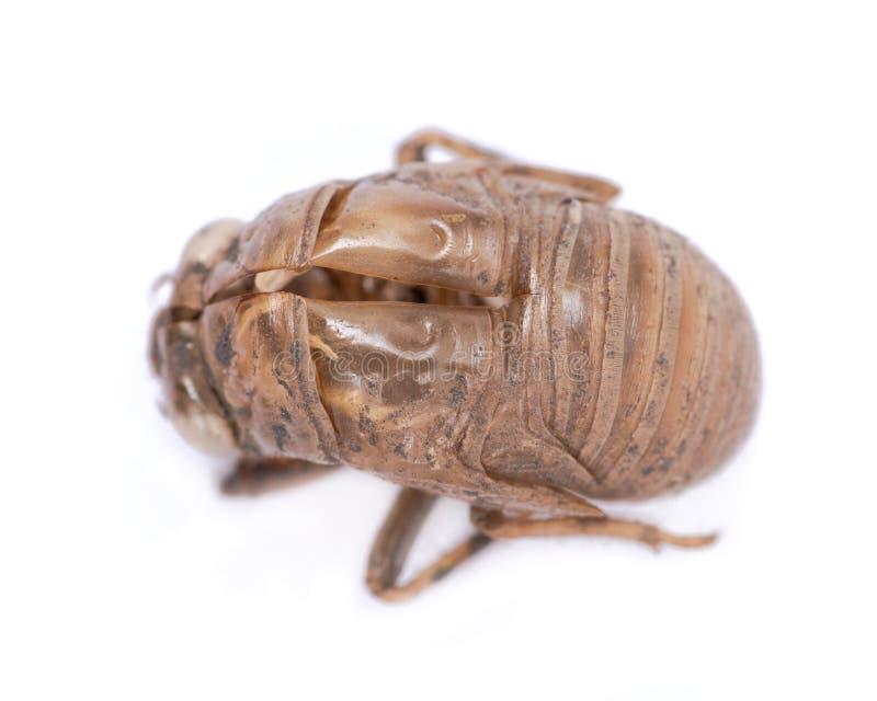 Shell van de cicadenimf exuvum Periodieke cicadetotstandkoming Exoskeleton van metamorfosenimfen Larve Ha stock foto's
