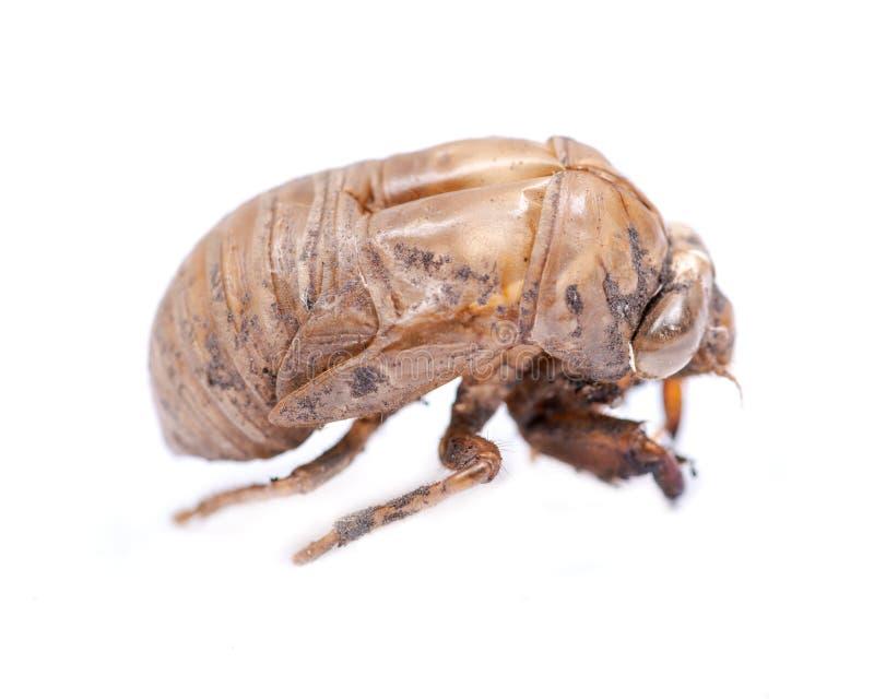 Shell van de cicadenimf exuvum Periodieke cicadetotstandkoming Exoskeleton van metamorfosenimfen Larve Ha royalty-vrije stock afbeelding