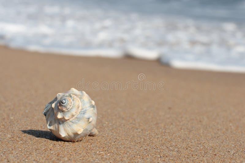 Shell van de kroonslak op strand royalty-vrije stock foto