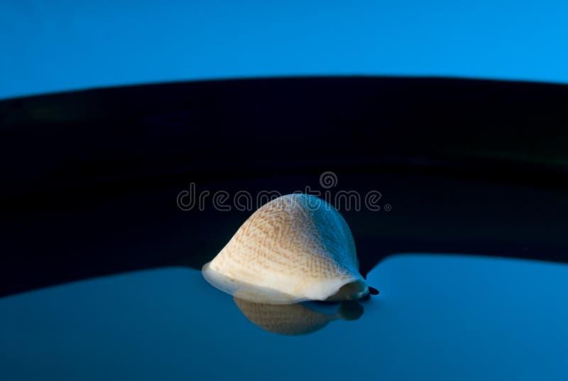 Shell van de porceleinslak stock foto