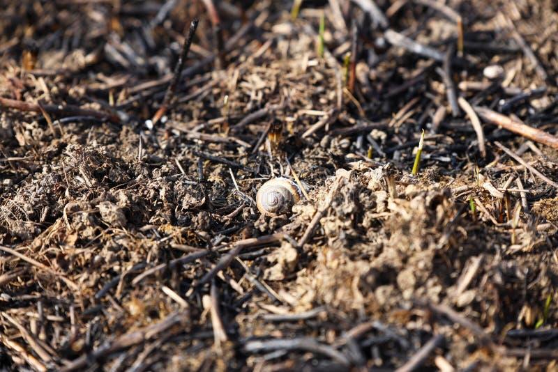 Shell van een slak, die in een brand was gestorven, ligt op gebakken gras Gevolgen van een catastrofe De lentetan groene dekking  stock afbeeldingen