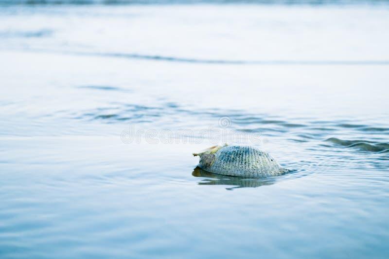 Shell w wodzie morskiej fotografia royalty free