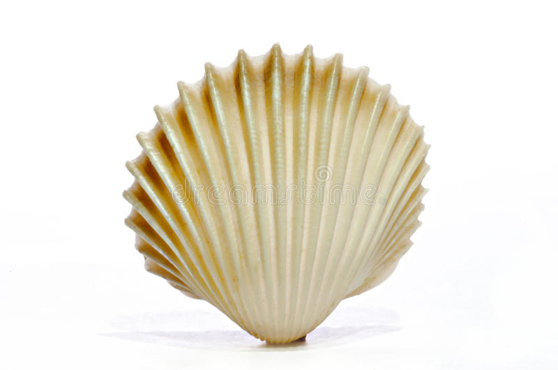 SHELL ON WHITE royalty free stock photo