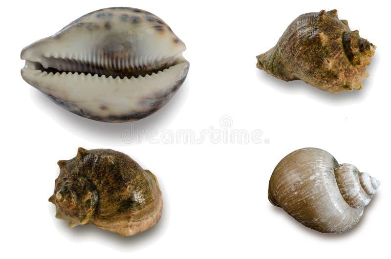 Shell on white background stock photo