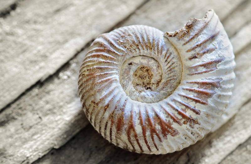 Shell on wood royalty free stock image