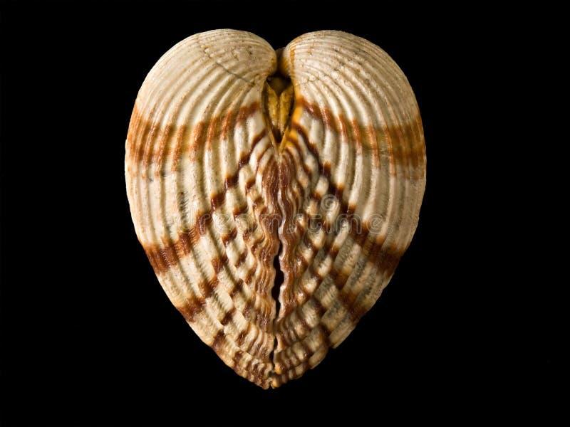 Shell zoals hart royalty-vrije stock fotografie