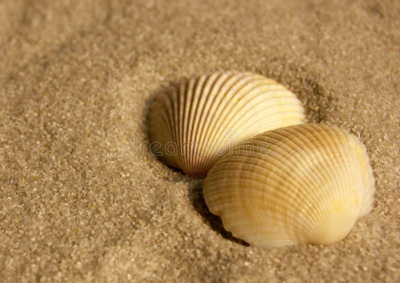 Shelles del berberecho foto de archivo libre de regalías