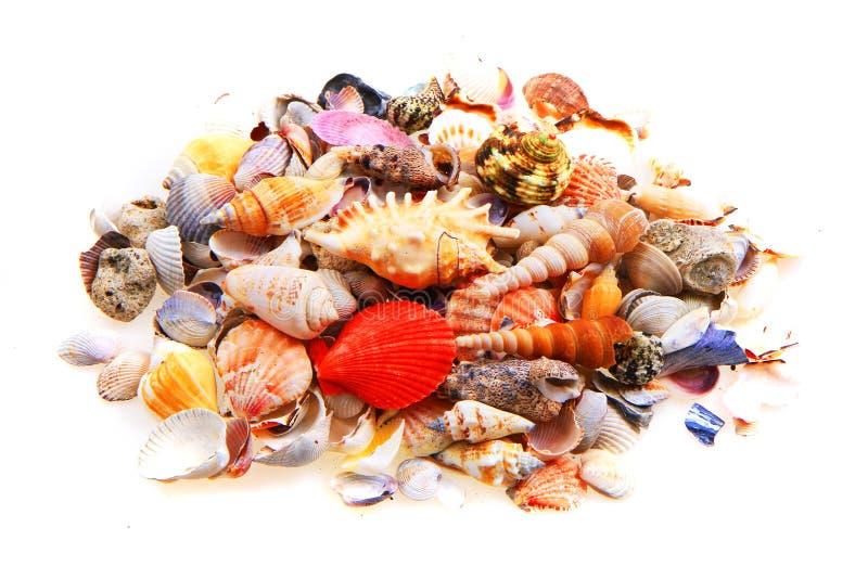 Shelles del mar aislados fotografía de archivo libre de regalías