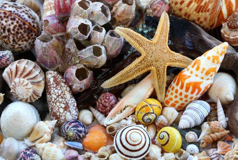 Shelles del mar, lapas, Driftwood, estrella de mar en la playa foto de archivo