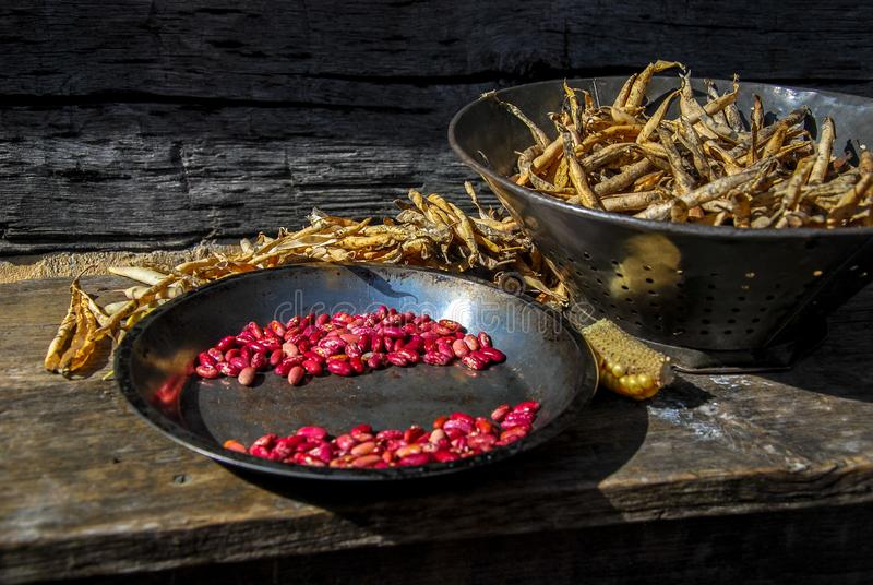 Shelling Kidney Beans Harvest Time royalty free stock image
