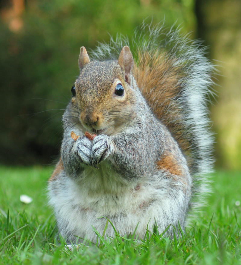 Shelling Out. American Grey Squirrel eating a peanut. Taken at Longford Park, Stretford, UK royalty free stock images