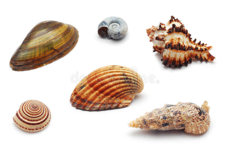 Download Shells stock image. Image of shell, ornamental, isolated - 18075983