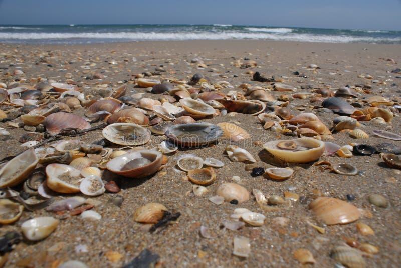 Shells on the beach. Many shells laying on sandy beach stock photos