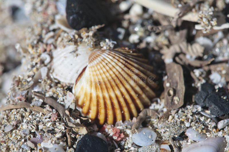 Download Shells on beach stock photo. Image of sand, marine, shell - 15895896