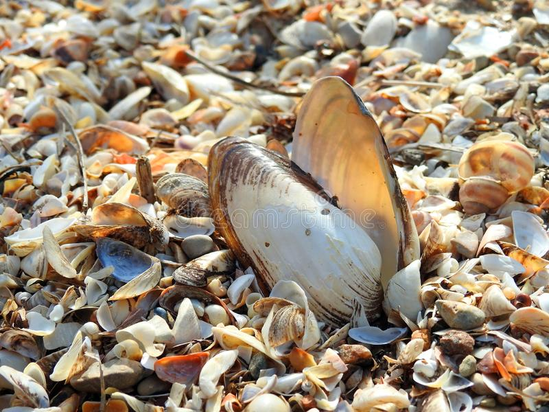 Shells on Curonian spit shore, Lithuania royalty free stock images