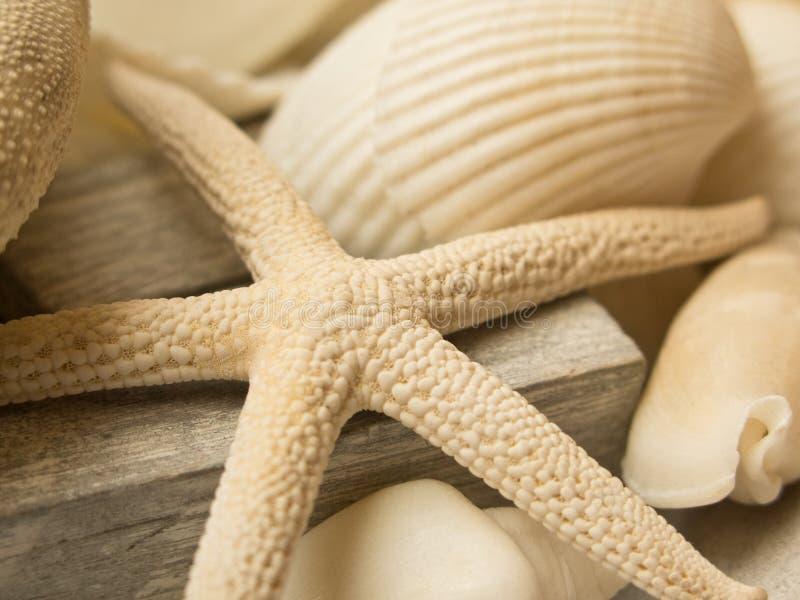Shells en seastar stock afbeeldingen