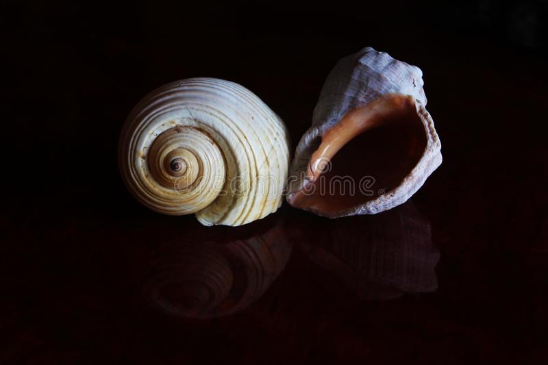 Reflection of two seashells in the dark. Shells have been regarded as a symbol of good fortune and fertility in the Far East for centuries. They are believed to stock photo