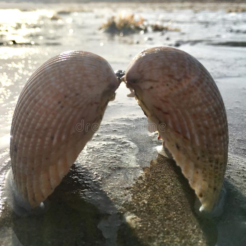 Shells like the wings of an angel stock images