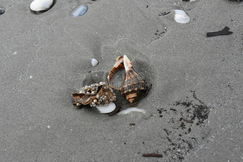 Shells and marine snails after the storm on the beach. Allot of snails and shells after the last night storm in the sand on the beach stock photography