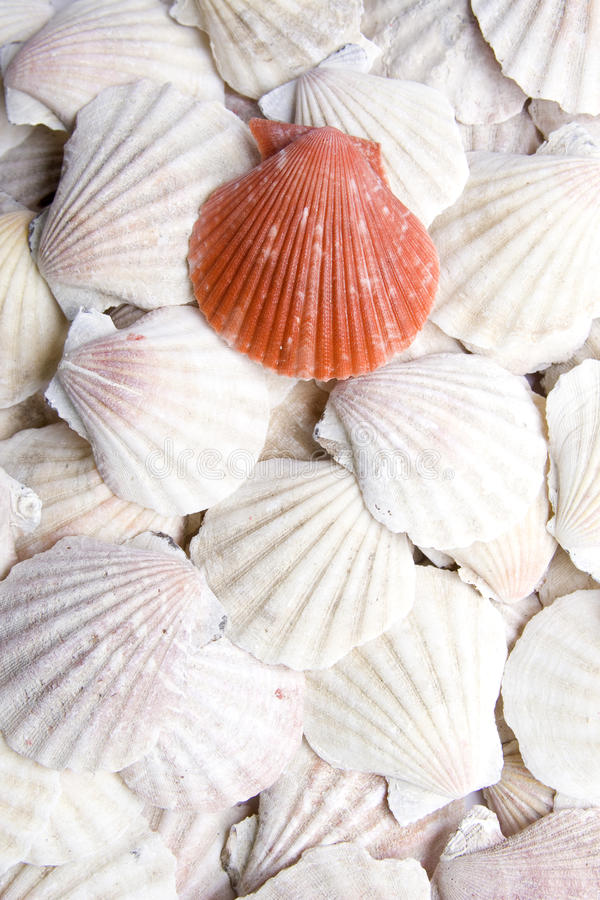 Free Shells Scallops Stock Images - 13216934