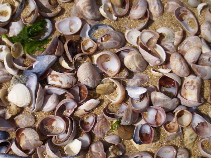 Jumble of shells on the seashore. Shells on the seashore. Washed together by the tide. Lots of species. Sand as background royalty free stock images