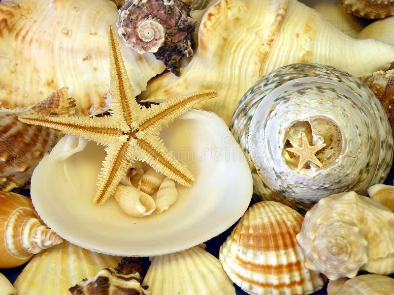 shells stjärnor arkivbild