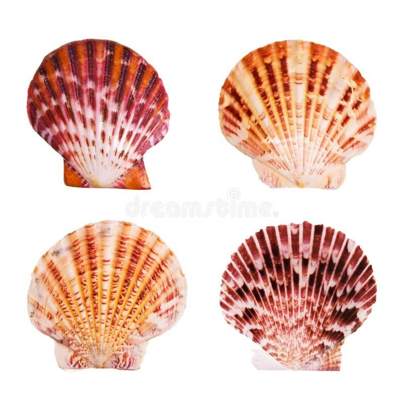 Shells van de kammossel stock afbeelding