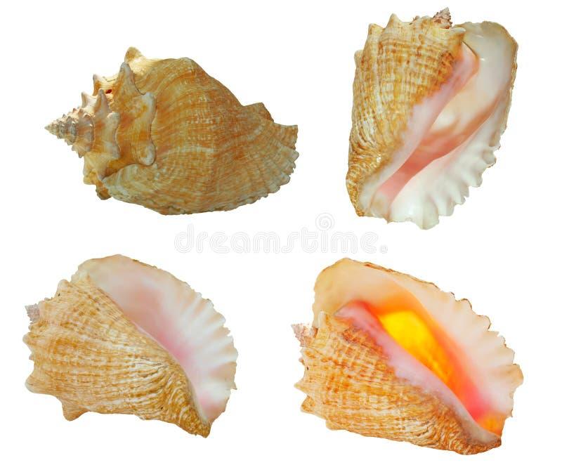 Shells van de kroonslak in 4 meningen royalty-vrije stock afbeelding