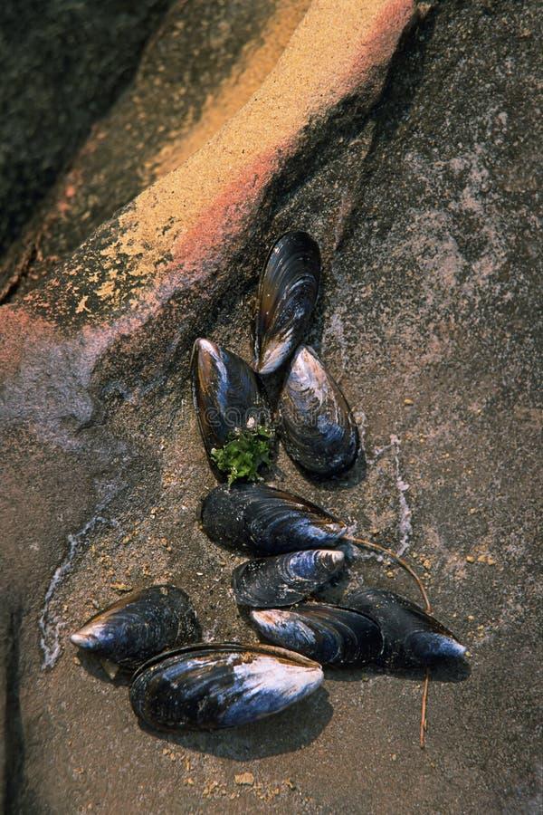 Shells van Mussell royalty-vrije stock fotografie
