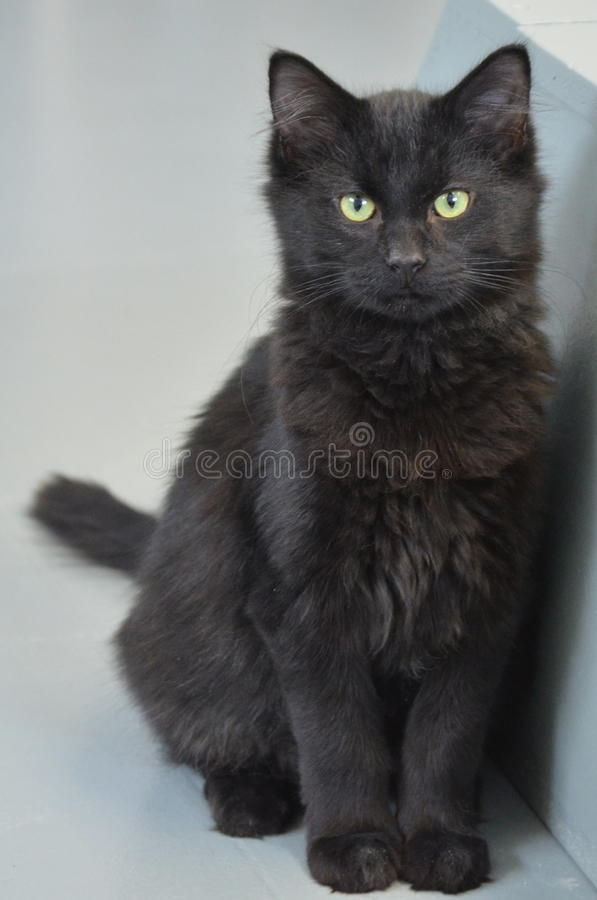 Shelter Cat - Black Longhair Kitty. Yellow eyed black cat watching people and other cats at the animal shelter royalty free stock images