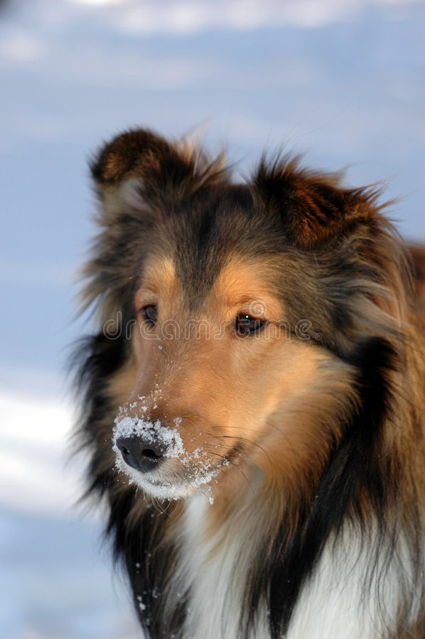 sheltie χειμώνας στοκ φωτογραφία με δικαίωμα ελεύθερης χρήσης