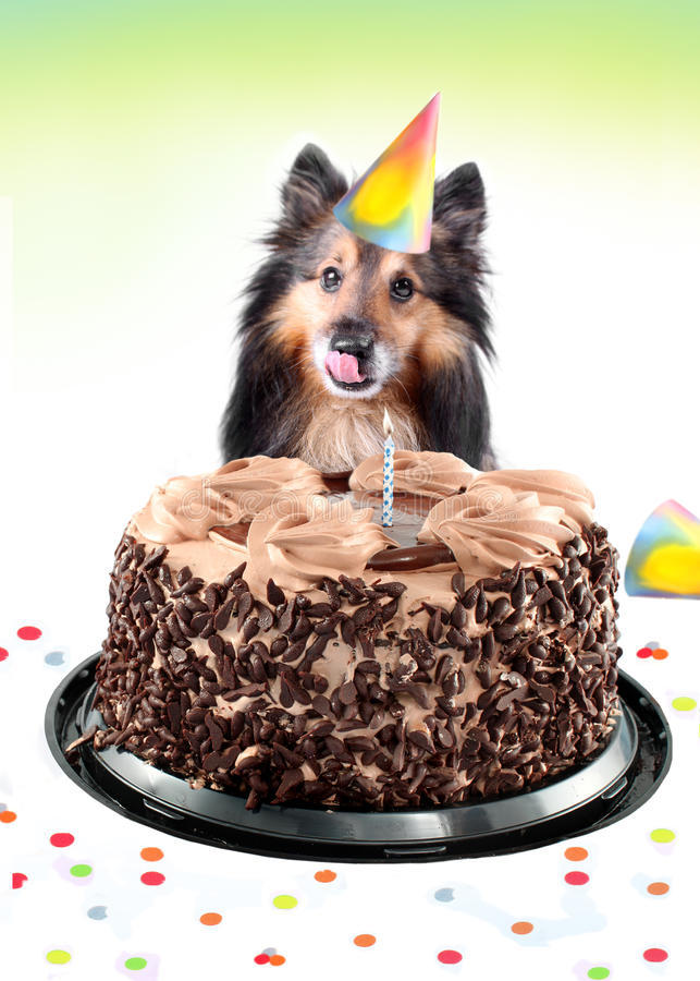 Sheltie birthday cake royalty free stock image