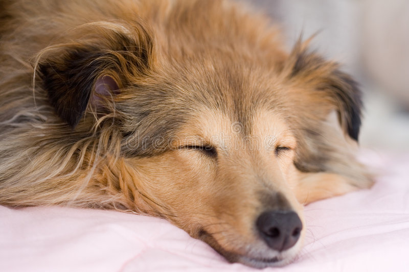 sheltie brown. zdjęcia stock